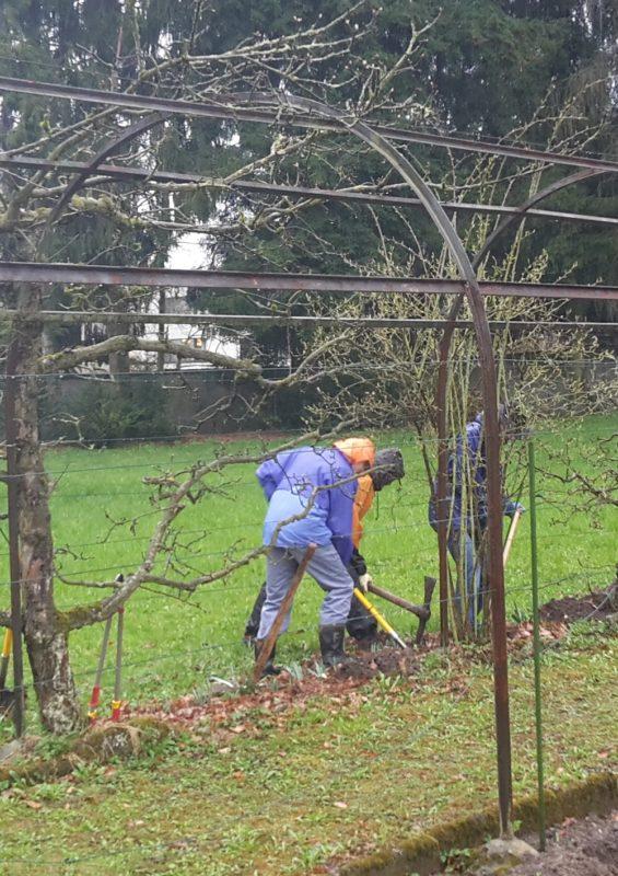 Pflanzung der Apfelbäume bei strömendem Regen