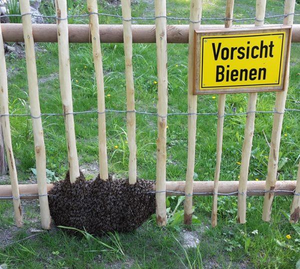 Ausgeschwärmte Bienen