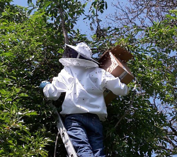 Einfangen von geschwärmten Bienen