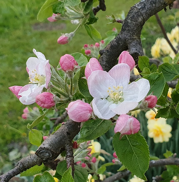 Apfelblüte in der Pergola