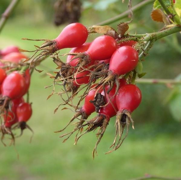 Hagebutte der Weinrose