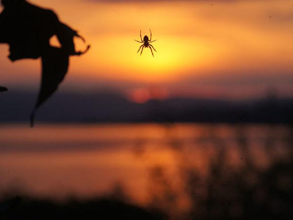 Spinne-im-Abendrot