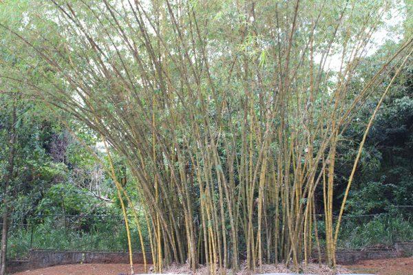 Bambusbaumgruppe © Stefan Rüde