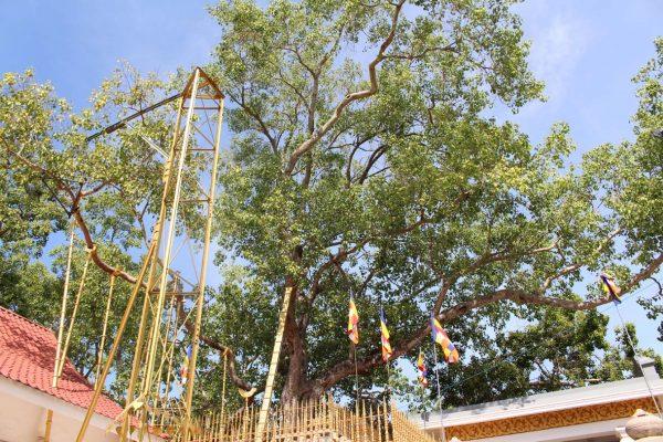 Heiliger Baum in Anuradhapura © Stefan Rüde