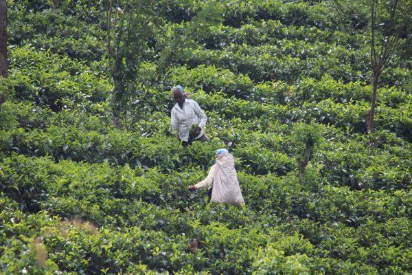 Teepflückerinnen auf einer Teeplantage © Stefan Rüde